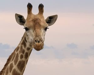 Giraffe. Fresno Title Loans