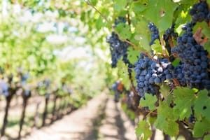 Grapes from Napa Valley. San Francisco Title Loans