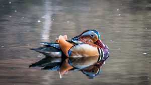 Duck on water. Title Loans Folsom
